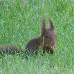 l'écureuil roux, un voisin discret et charmant
