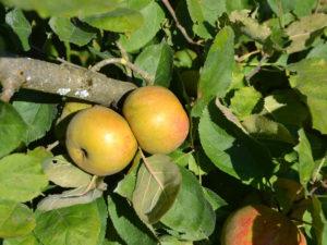 Les fruits du verger des Orangeries, pommes, figues, mirabelles et raisins. - verger bio des Orangeries